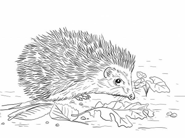 Hedgehogs, : East European Hedgehog Eat Leaves Coloring Pages
