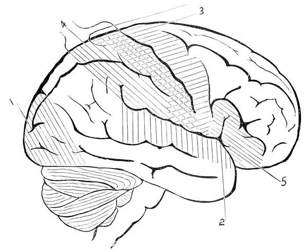 human anatomy human brain coloring pages