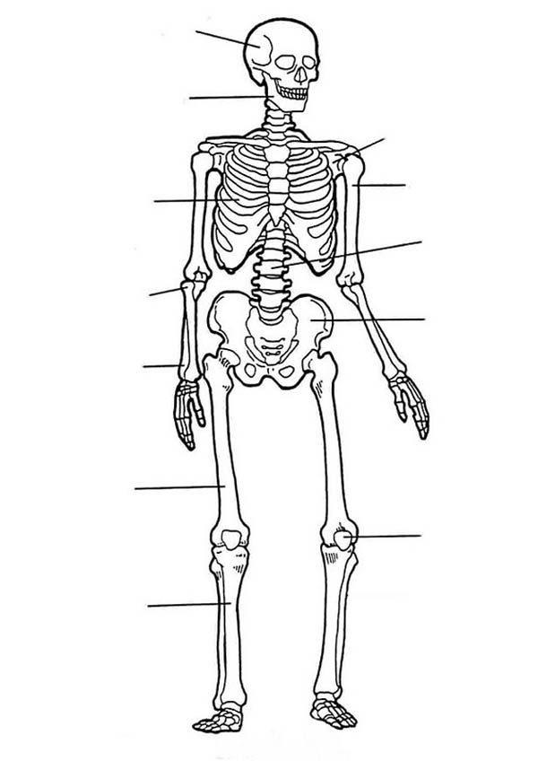 label of human skeleton in human anatomy coloring pages | bulk color, Skeleton