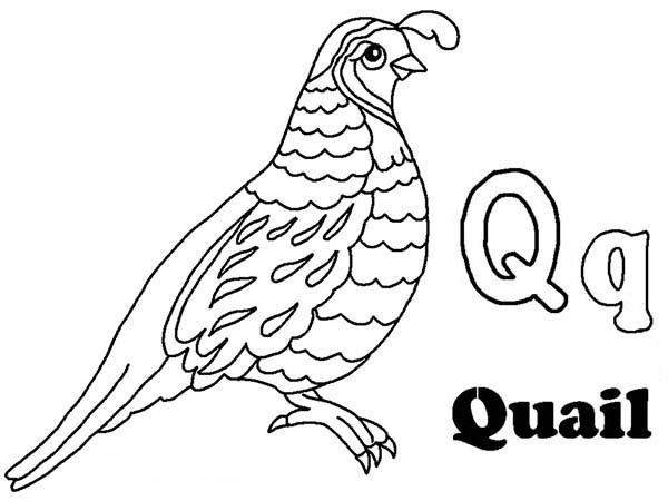 Q is for Quail Learning Letter Q Letter Q Coloring Page Bulk Color