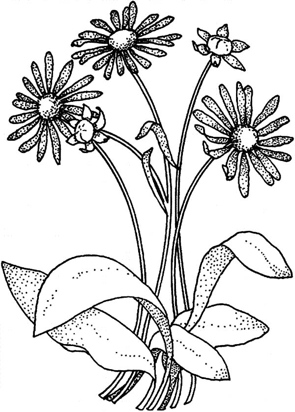 Simple Drawing Aster Flower Coloring Pages Bulk Color