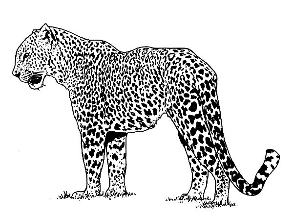 Jaguar, : Alpha Male Jaguar Coloring Pages