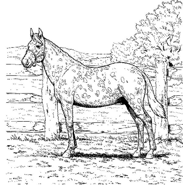 Appalooshorse, : Appalooshorse Farm Coloring Pages