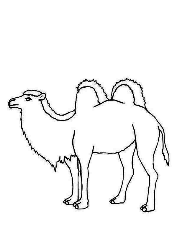 Bactria Camel, : Arabian Bactria Camel Coloring Pages