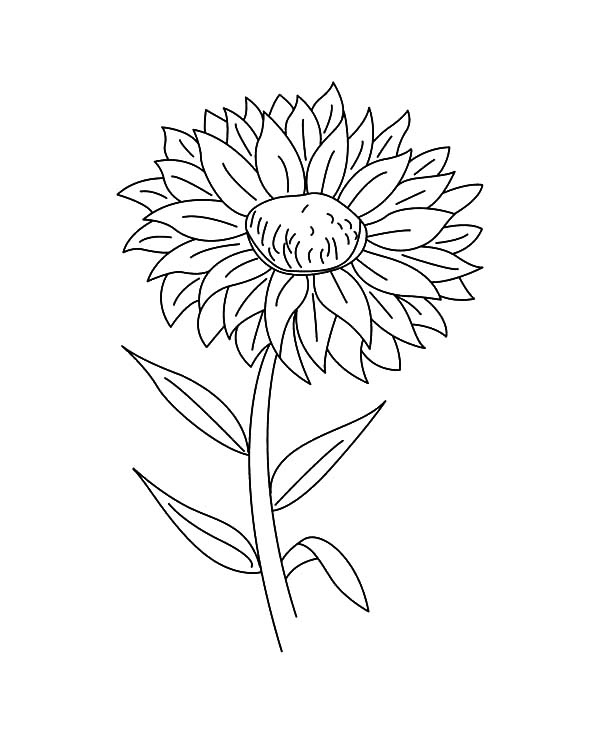 Aster Flower, : Aster Flower Outline Coloring Pages