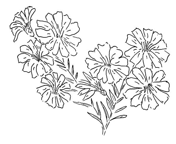 Aster Flower, : Aster Flower Painting Coloring Pages