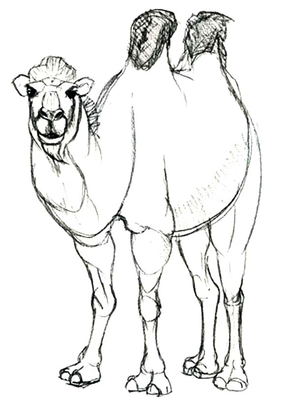 Bactria Camel, : Awesome Animal Bactria Camel Coloring Pages