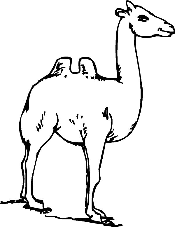 Bactria Camel, : Bactria Camel Has Long Neck Coloring Pages