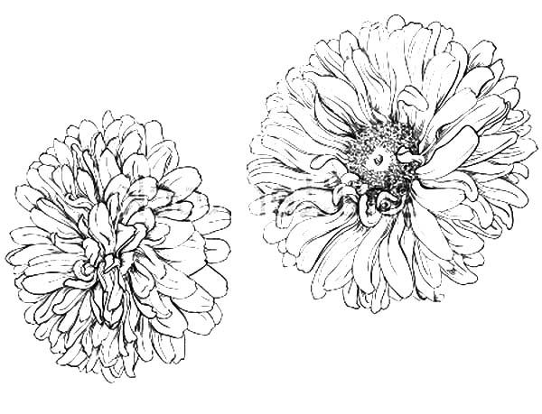 Aster Flower, : Blooming Aster Flower Coloring Pages