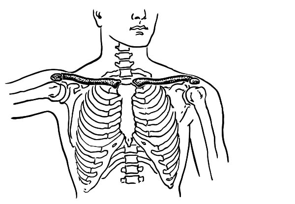 Anatomi, : Collar Bone from Bone Anatomi Coloring Pages