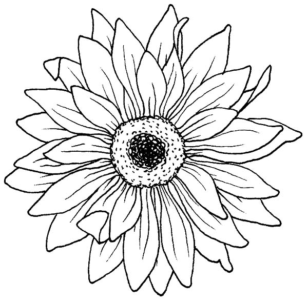 Aster Flower, : Drawing Blooming Aster Flower Coloring Pages