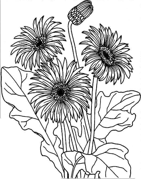 Aster Flower, : Garden of Aster Flower Coloring Pages