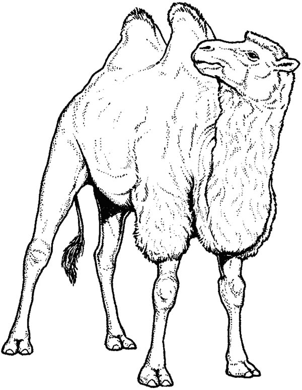 Bactria Camel, : Hairy Bactria Camel Coloring Pages