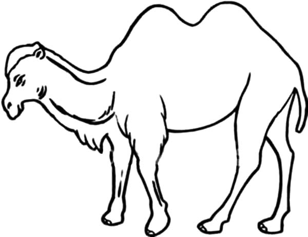Bactria Camel, : How to Draw Bactria Camel Coloring Pages
