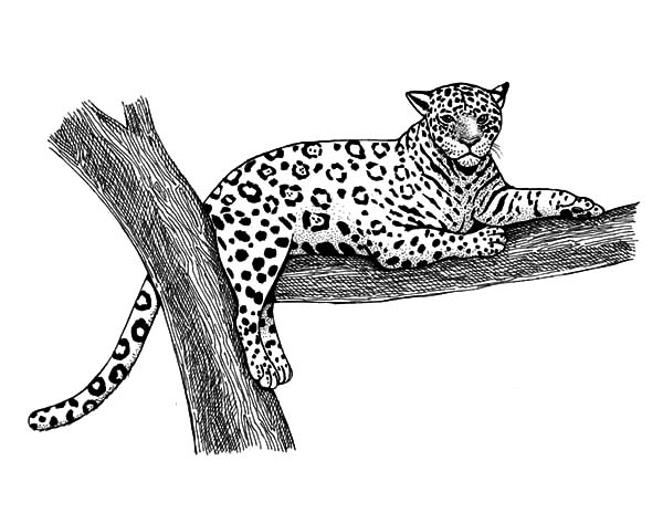 Jaguar, : Jaguar Coloring Pages for Kids