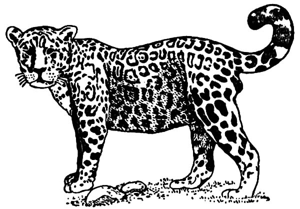 Rainforest Animal Jaguar Coloring Pages