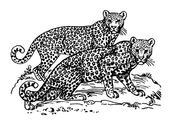 Jaguar, : Jaguar Couple Coloring Pages