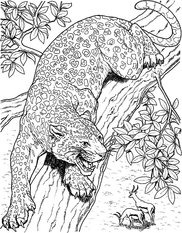 Jaguar, : Jaguar Eyeing on Mule Deer Coloring Pages