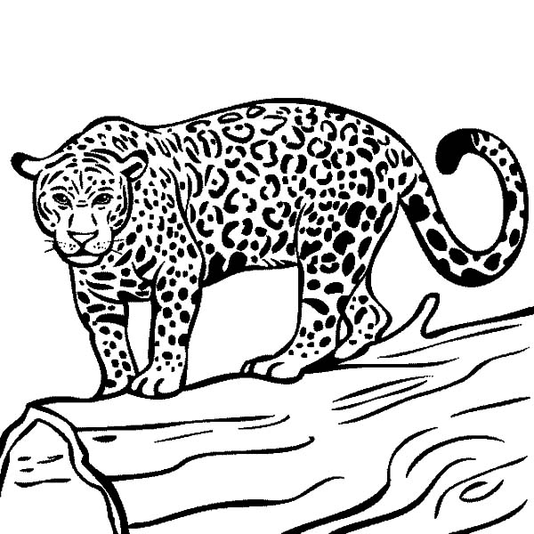 Jaguar, : Jaguar Ready to Hunt Coloring Pages