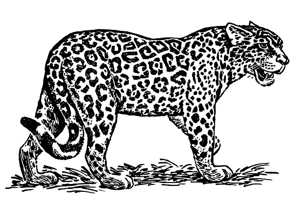 Jaguar, : Jaguar Roaring Coloring Pages