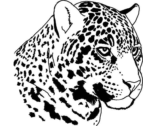 Jaguar Staring Coloring Pages | Bulk Color