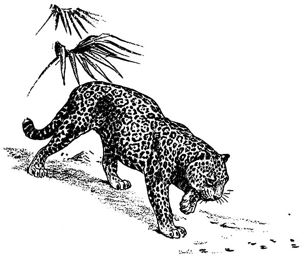 Jaguar, : Jaguar Tracing Trail Coloring Pages