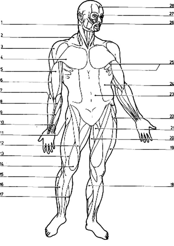 Anatomi, : Muscular System Anatomi Coloring Pages