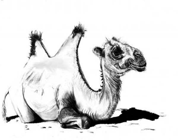 Bactria Camel, : Sketch of Bactria Camel Coloring Pages
