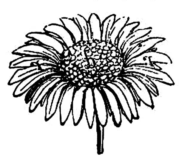 Aster Flower, : Sprig of Aster Flower Coloring Pages