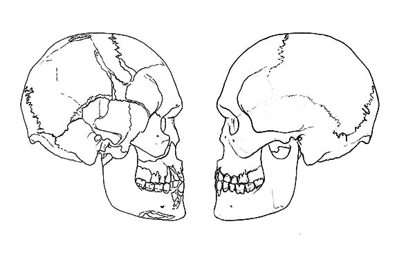 Anatomi, : The Human Skull Anatomi Coloring Pages