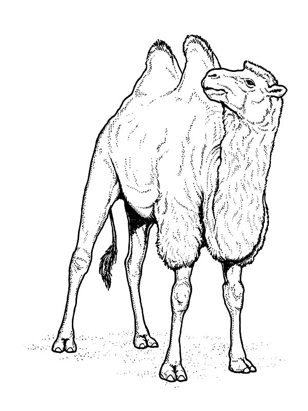 Bactria Camel, : Two Humped Bactria Camel Coloring Pages