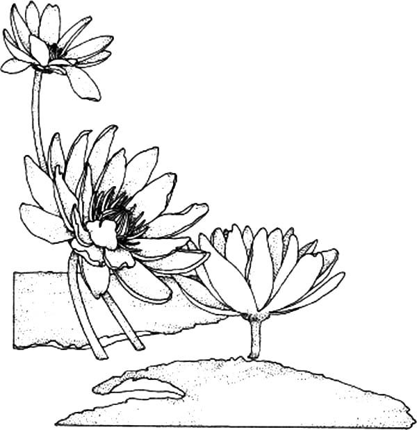 Aster Flower, : lily-2-coloring-page