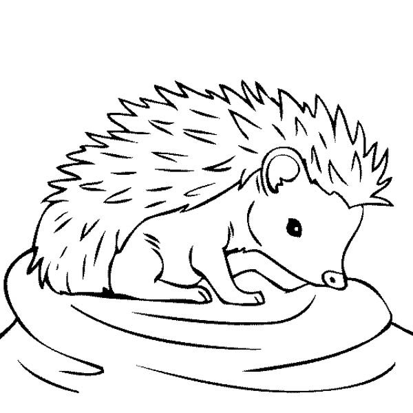 Hedgehogs, : Baby Hedgehog Feeling Thirsty Coloring Pages