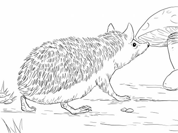 Hedgehogs, : Long Eared Hedgehog Coloring Pages