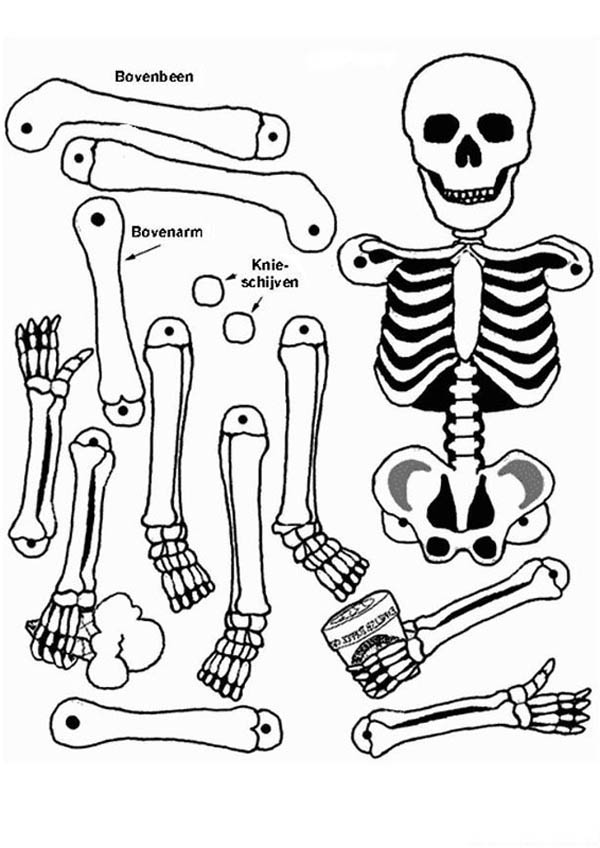 Human Anatomy, : All Human Bones in Human Anatomy Coloring Pages