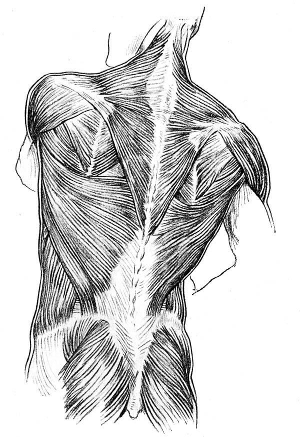 Human Anatomy, : Back Side of Human Anatomy of Muscle Coloring Pages