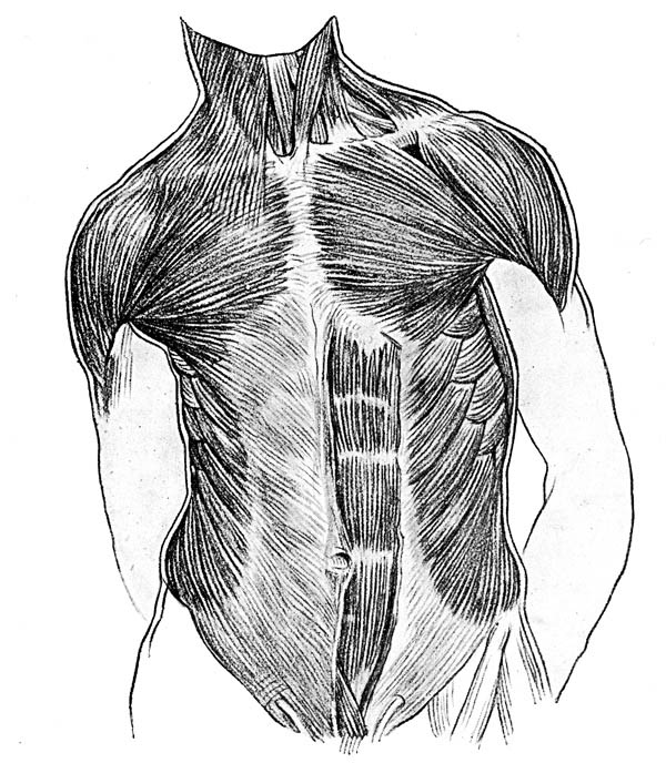 Human Anatomy, : Front Side of Human Anatomy of Muscle Coloring Pages