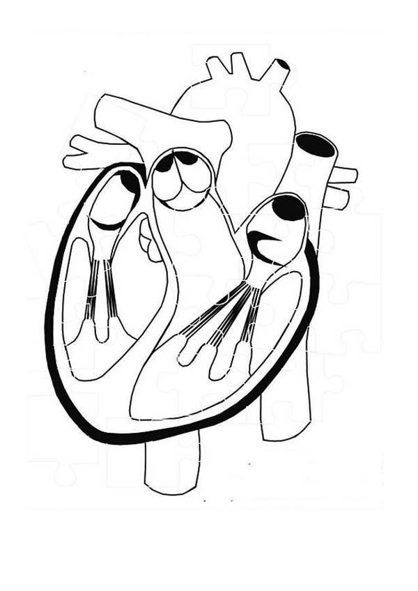 Human Anatomy, : Healthy Heart in Human Anatomy Coloring Pages