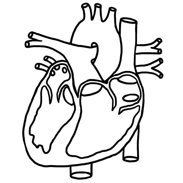 Human Anatomy, : Heart Picture in Human Anatomy Coloring Pages