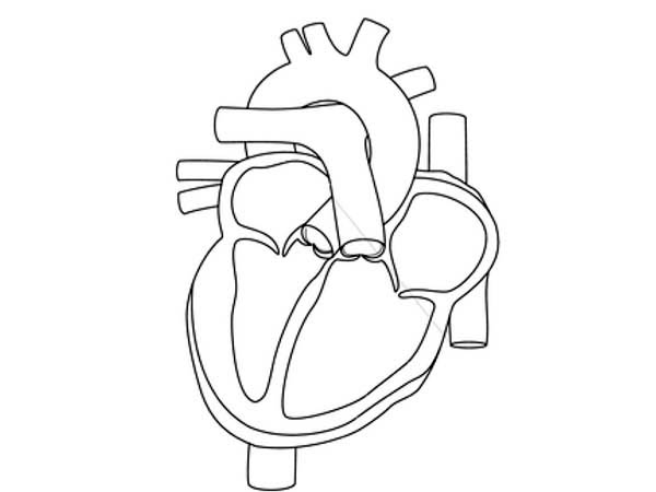Human Anatomy, : How to Draw Human Anatomy Heart Coloring Pages