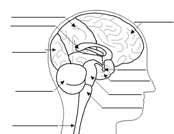 Human Anatomy, : Human Anatomy Brain Label Coloring Pages