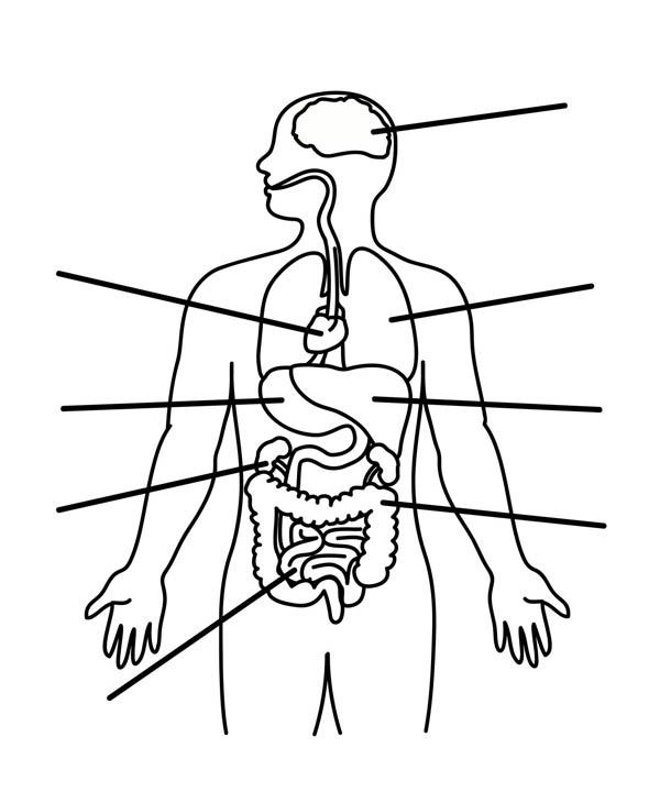Human Anatomy, : Human Anatomy Organs Coloring Pages
