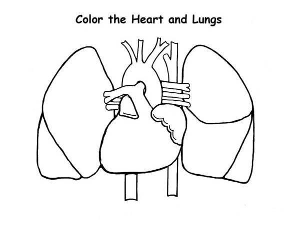 Human Anatomy, : Human Anatomy of Heart and Lungs Coloring Pages