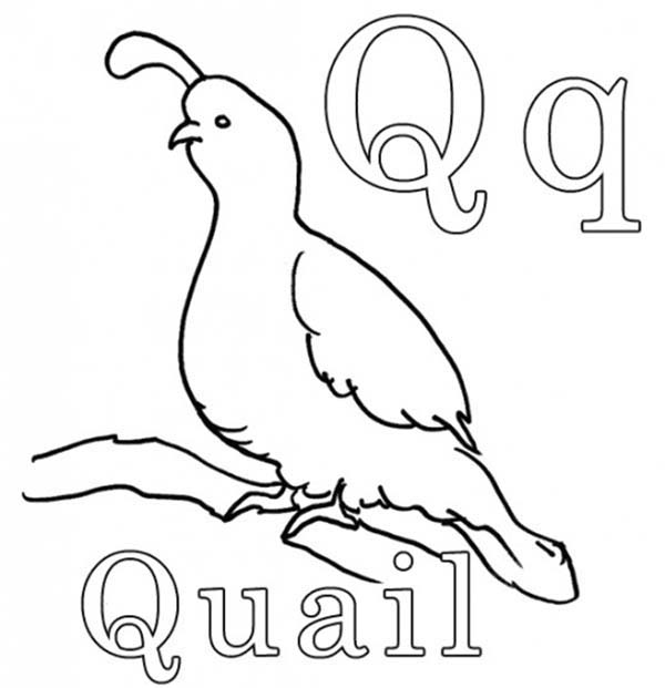 Letter Q, : Quail for Letter Q Coloring Page