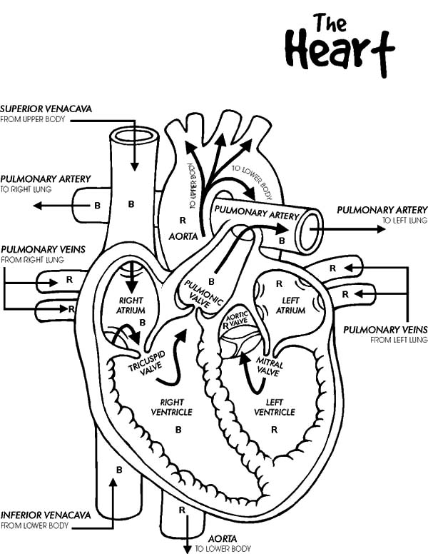 Anatomi, : Anatomi of Human Heart Coloring Pages
