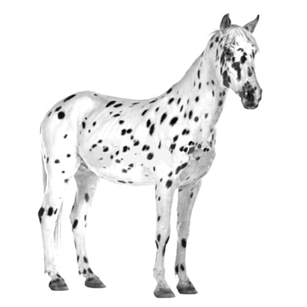 Appalooshorse, : Appalooshorse Coloring Pages