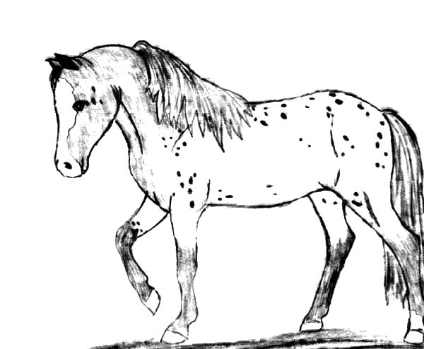 Appalooshorse, : Appalooshorse Walking Coloring Pages