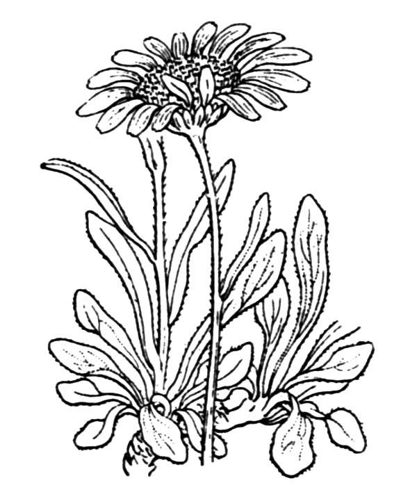 Aster Flower, : Aster alpinus