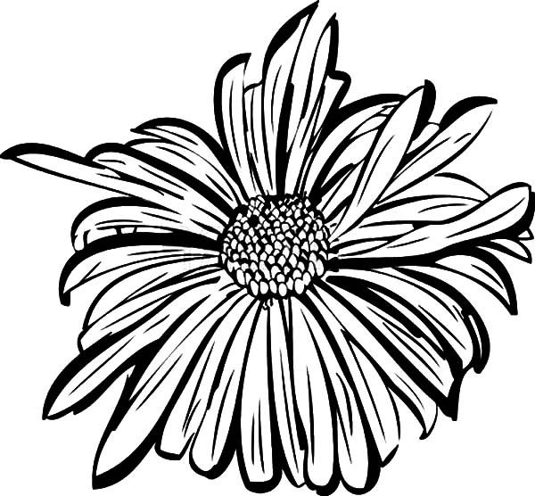Aster Flower, : Aster Flower Petals Coloring Pages