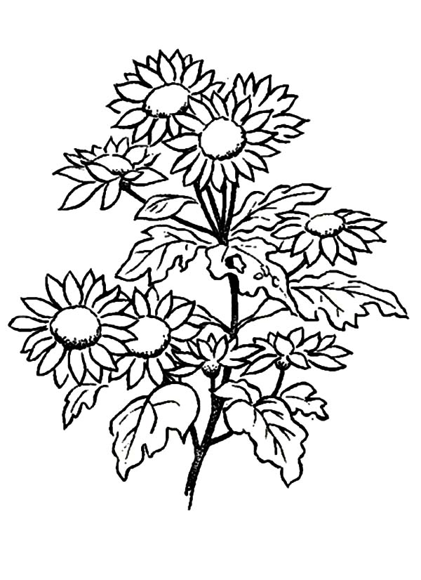 Aster Flower, : Aster Flower for Love Ones Coloring Pages